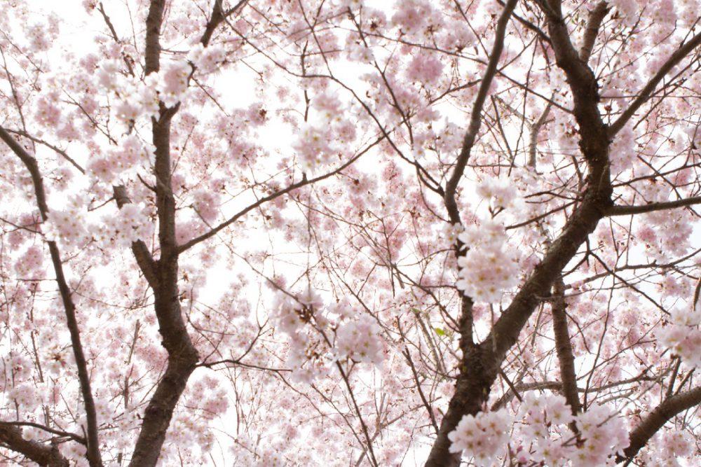 桜は誰が撮ってもキレイ(2018年の桜)