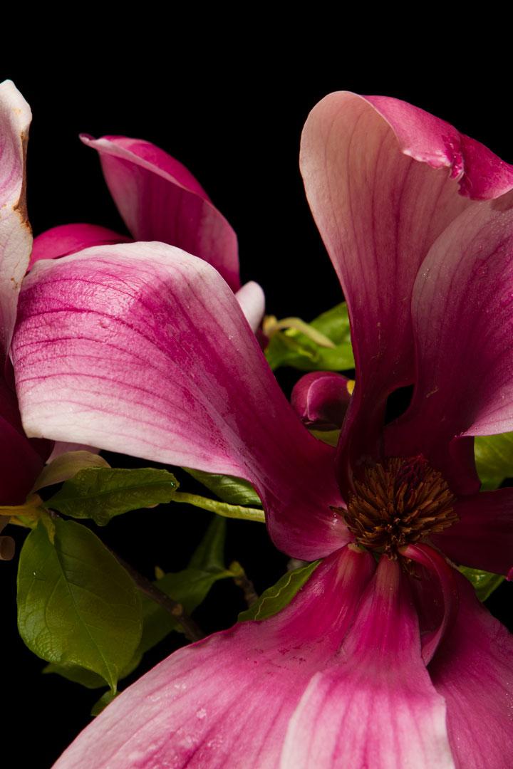 木蓮 MagnoliaフリーDL商用利用可_002_usharp