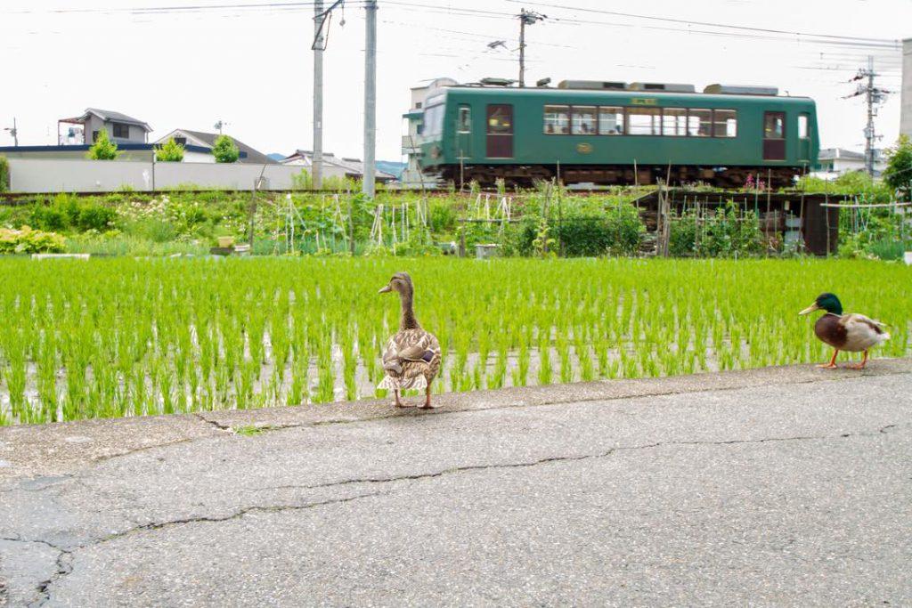 叡山電鉄の車両と水田と鴨